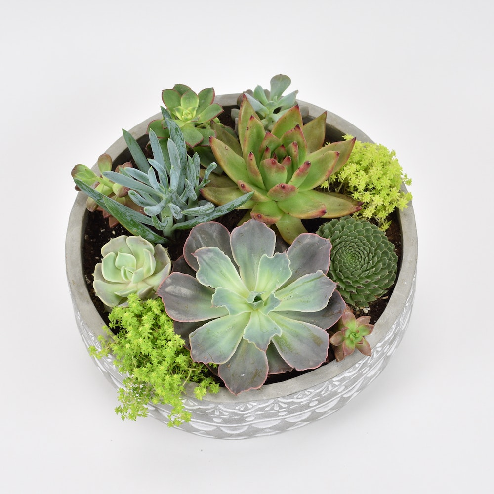 Succulent Delight