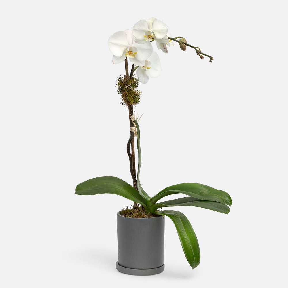 S Orchid Plant-21107