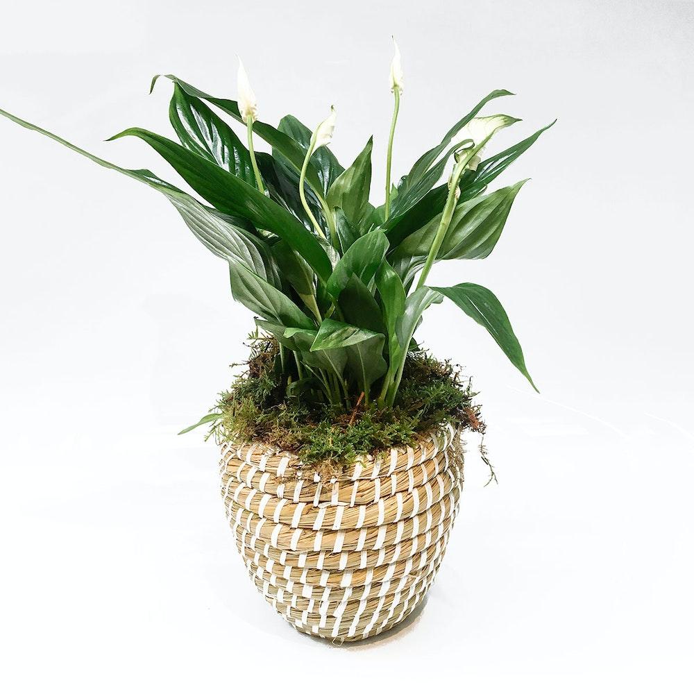 Peaceful plant