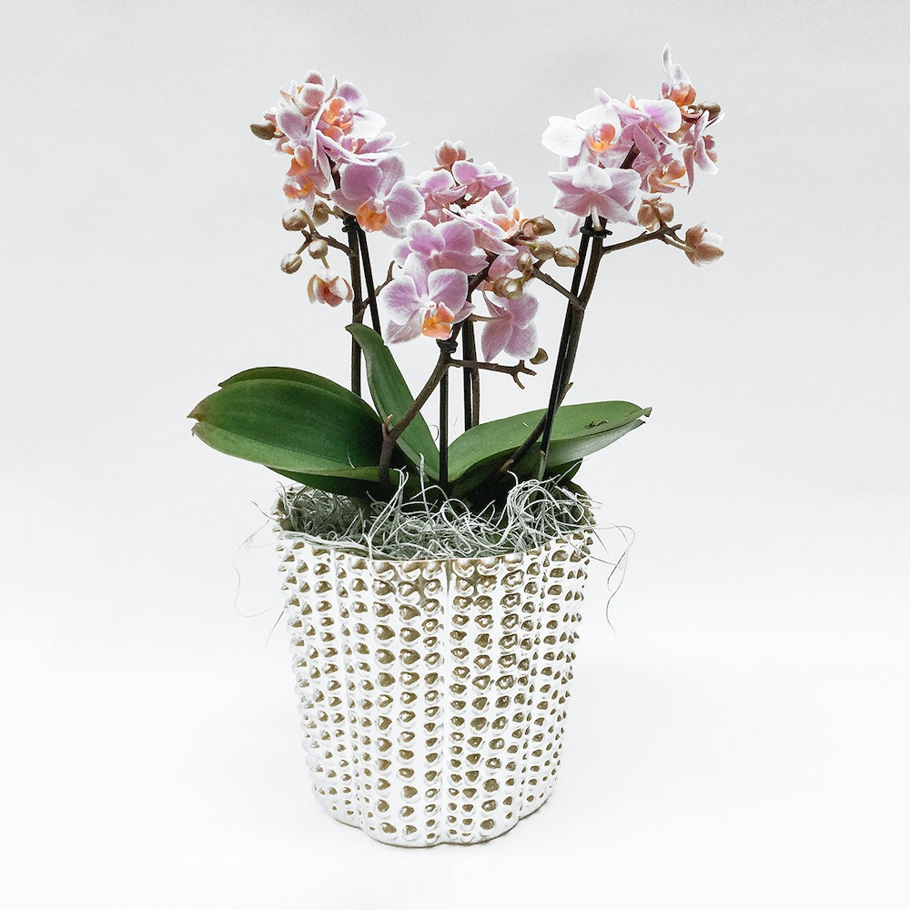 Bouquetto Orchid
