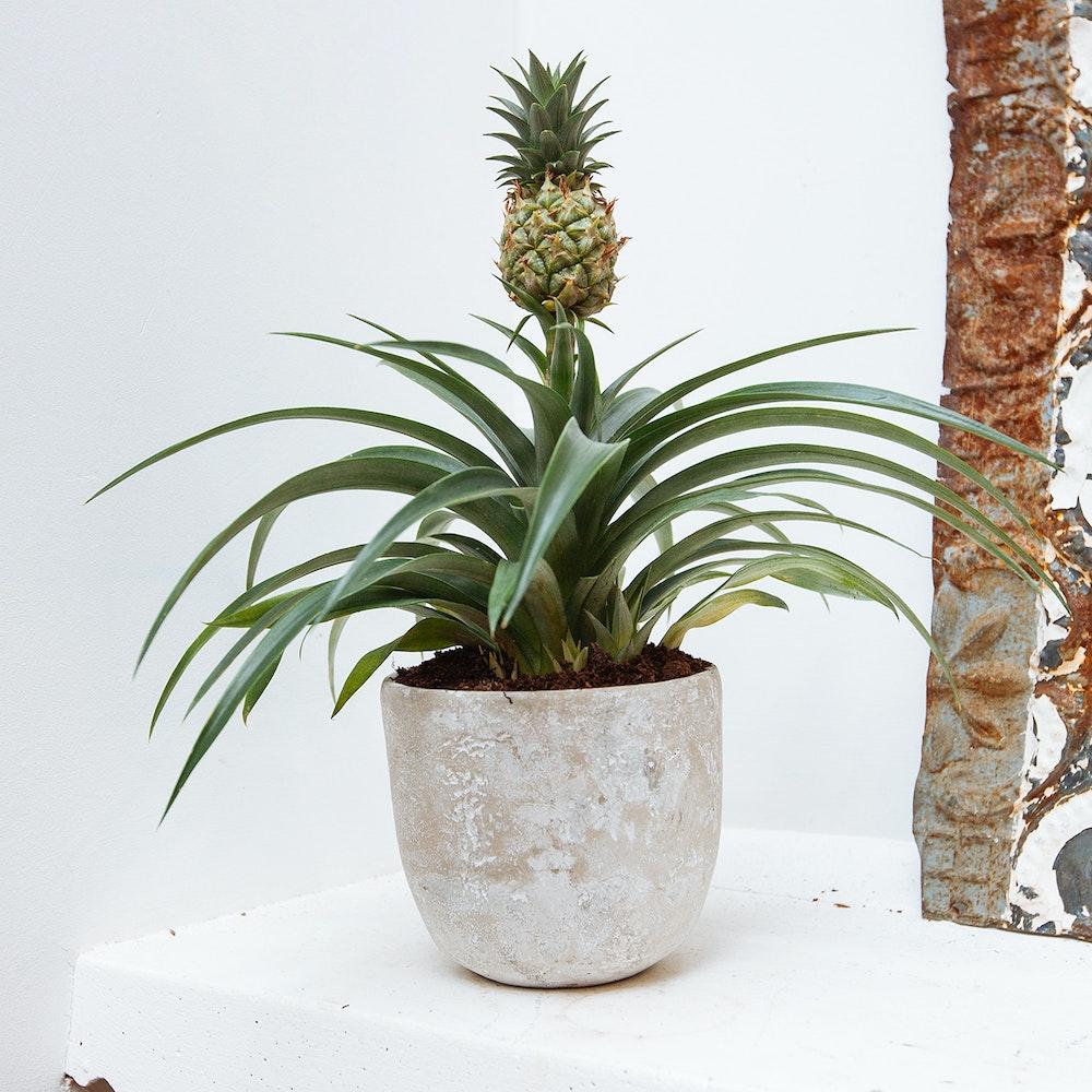 Pineapple Plant & Pot