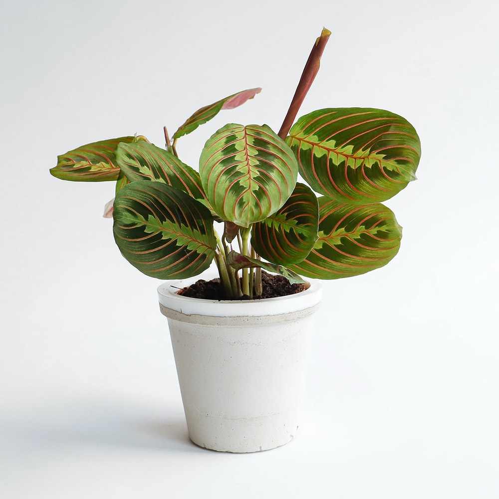 Prayer Plant Concrete