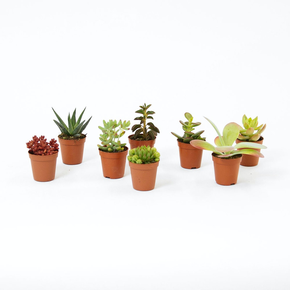 Succulent Mix 8