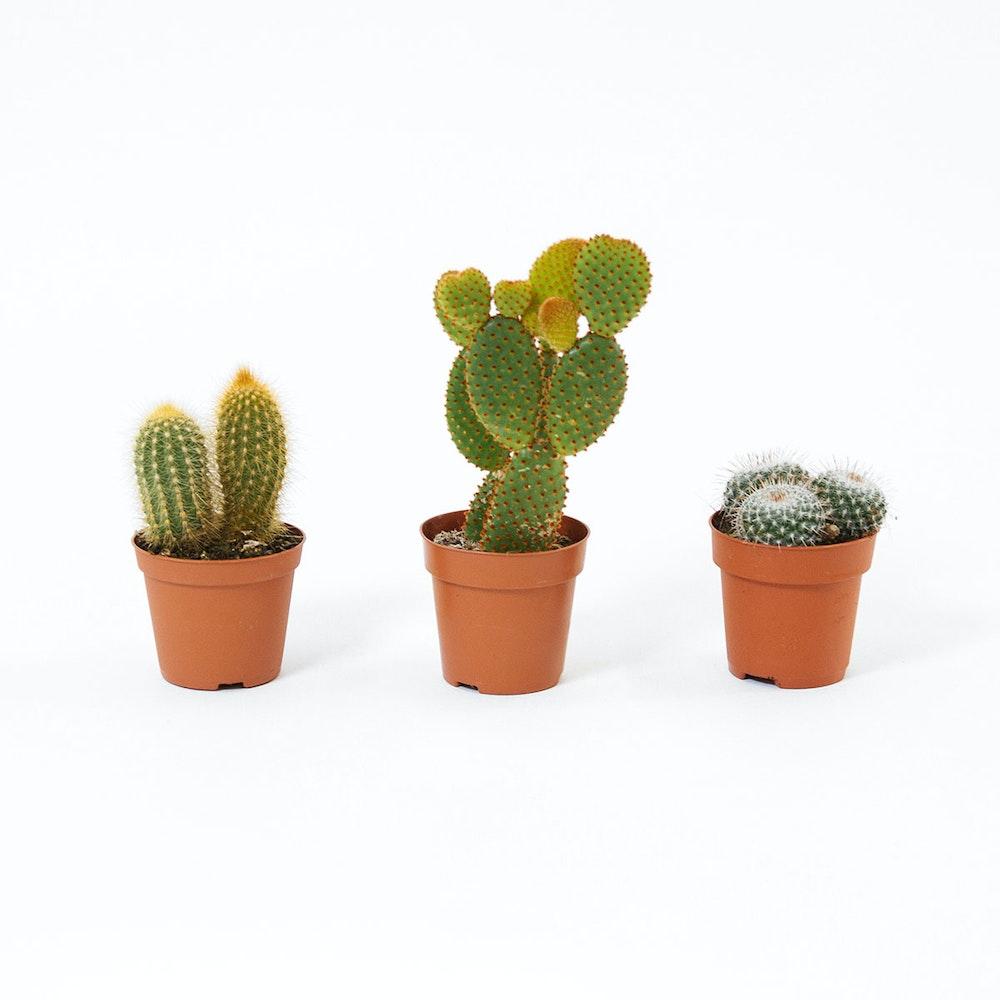 Cactus Mix 3