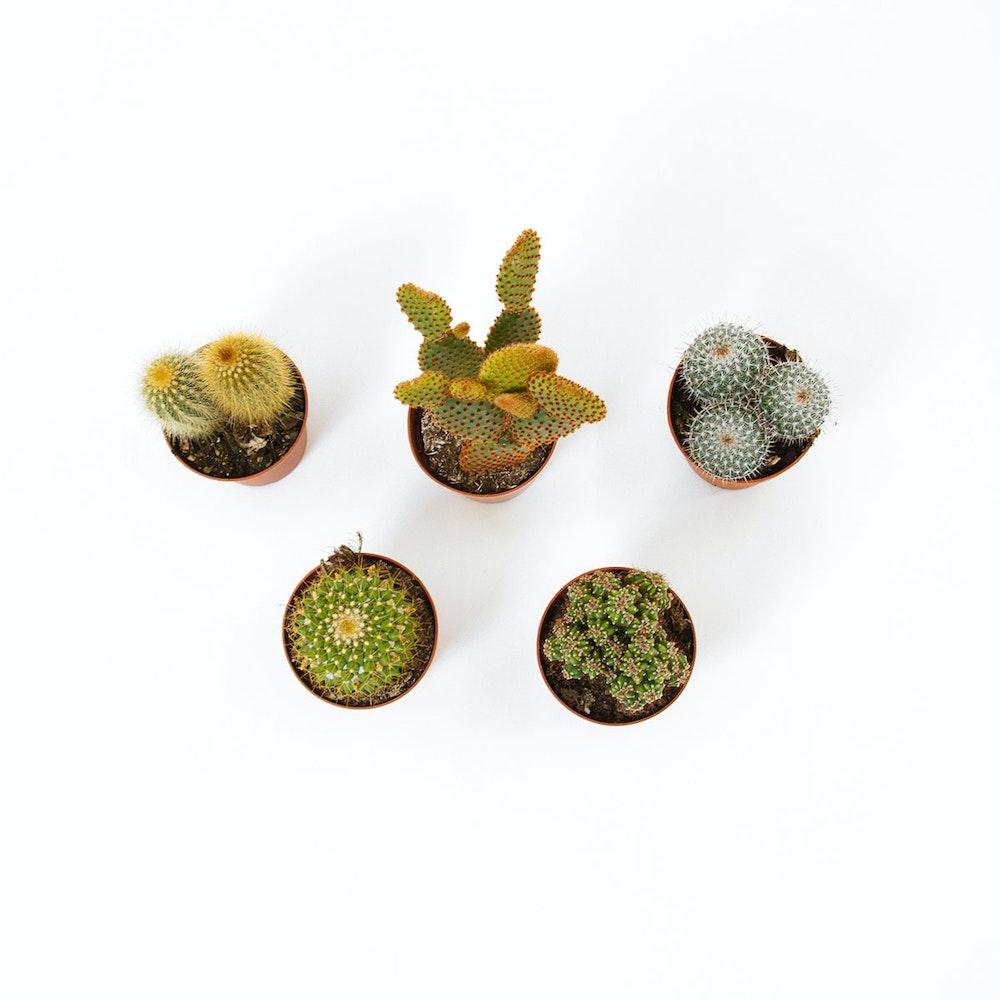 Cactus Mix 5