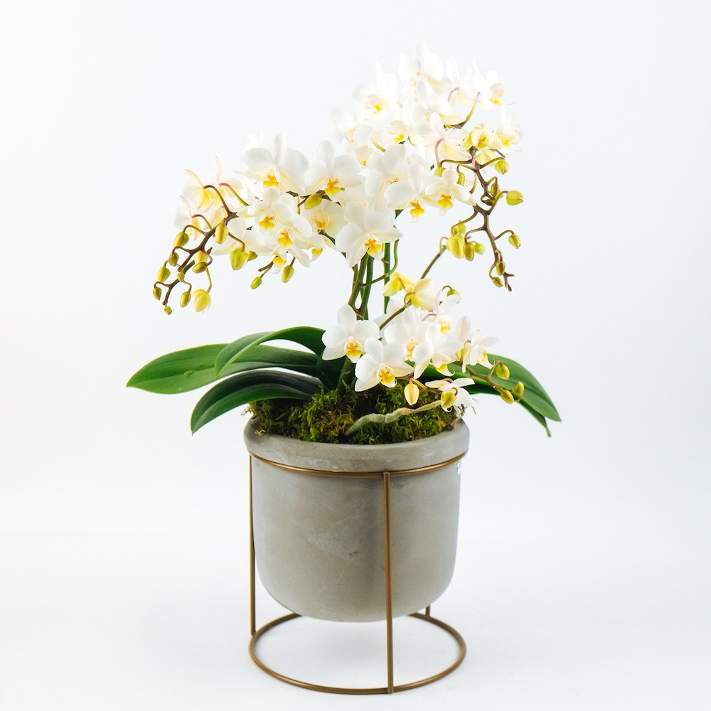 Wild Orchid White