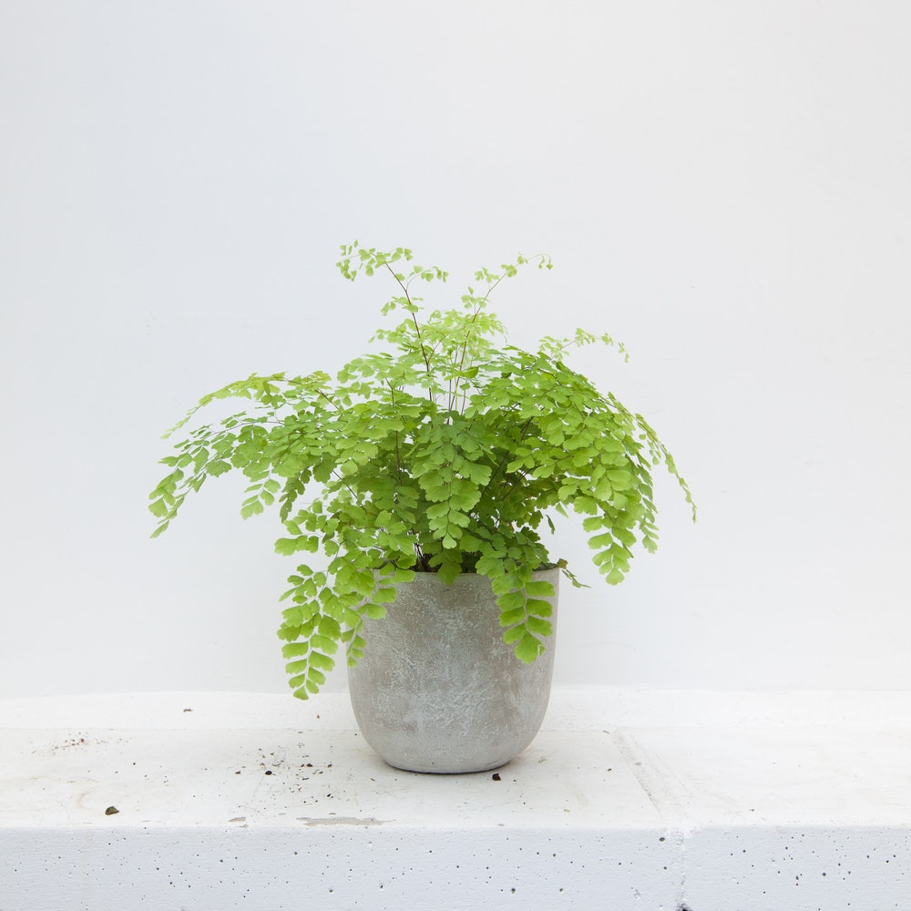 Maiden Hair Fern &Pot