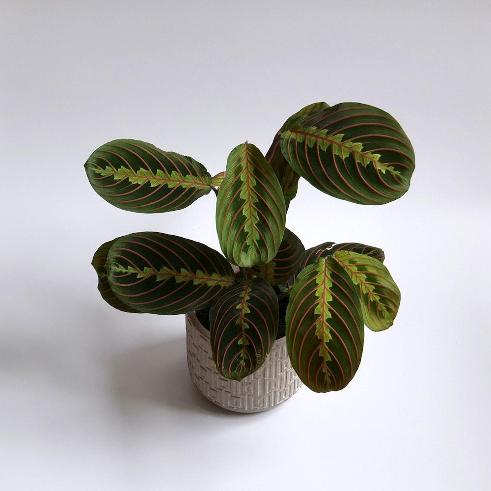 Herringbone Plant