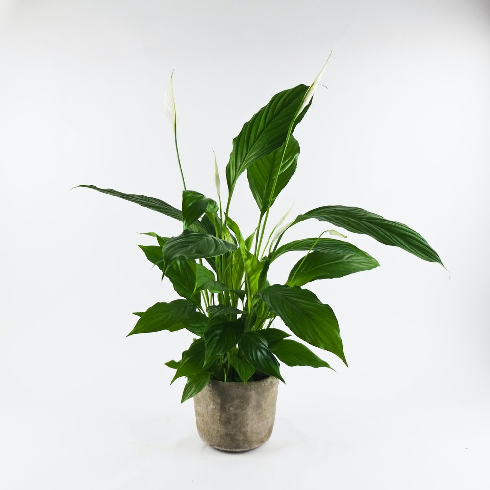 Rustic Peace Lily