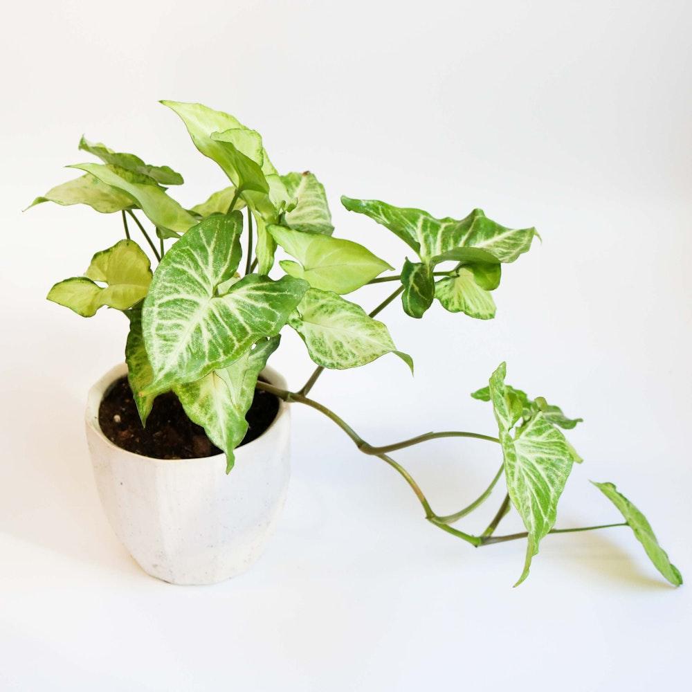 The Arrowhead  Plant