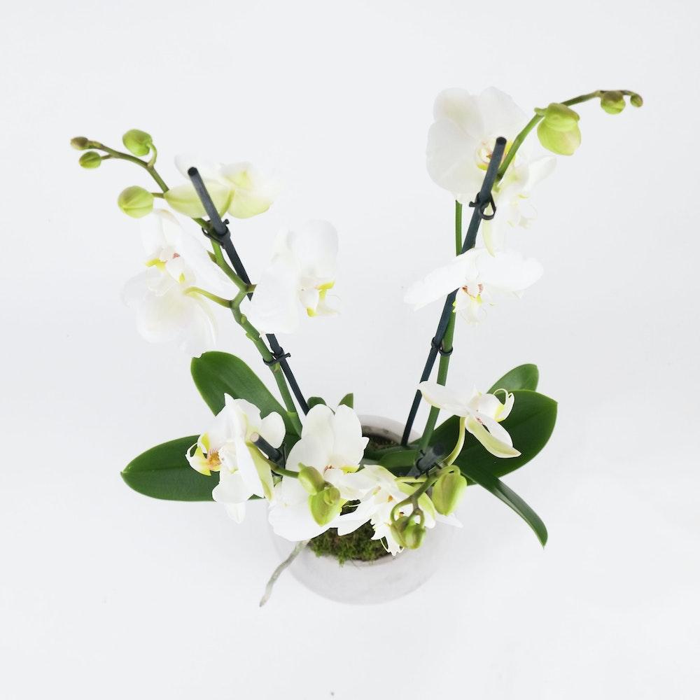 Quad Orchid Medium