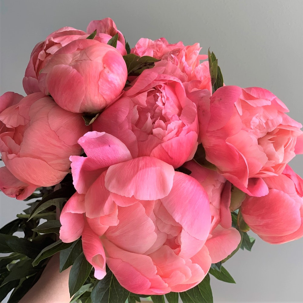 Peonies Coral Sunset