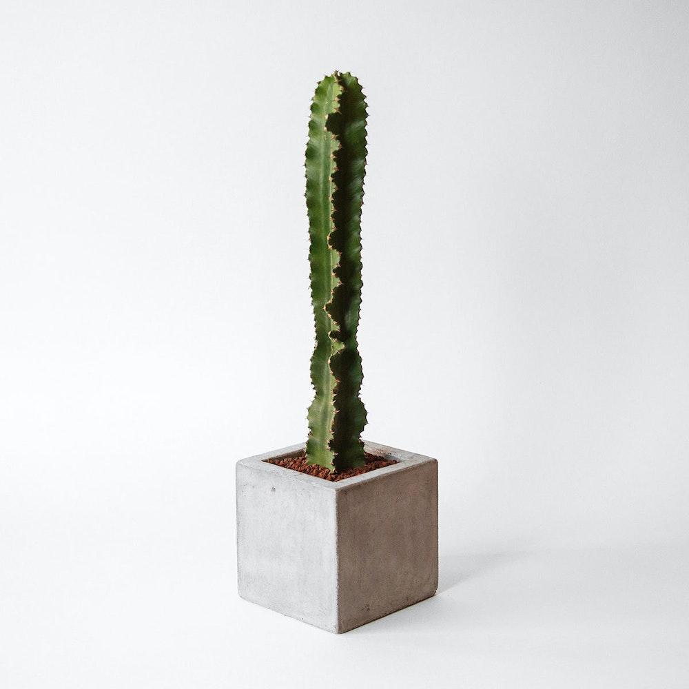 Lone Euphorbia