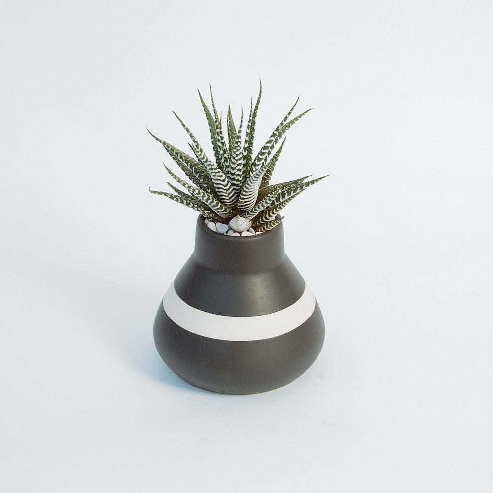 Modern Zebra Plant