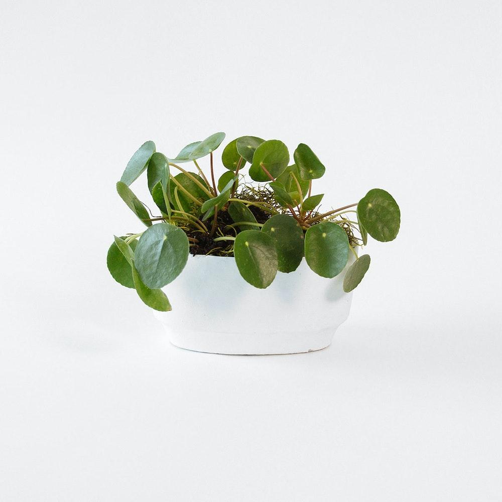 Pilea Planter