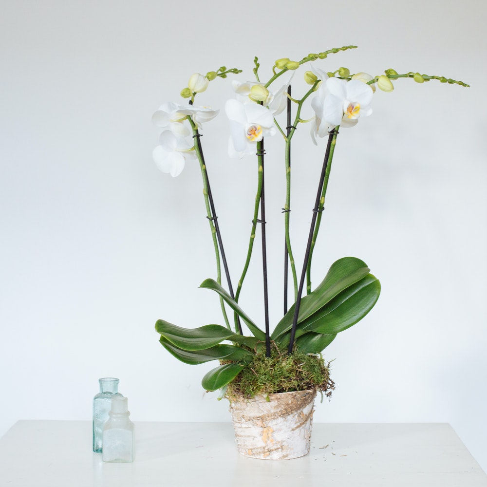 Phalanopsis Ochid