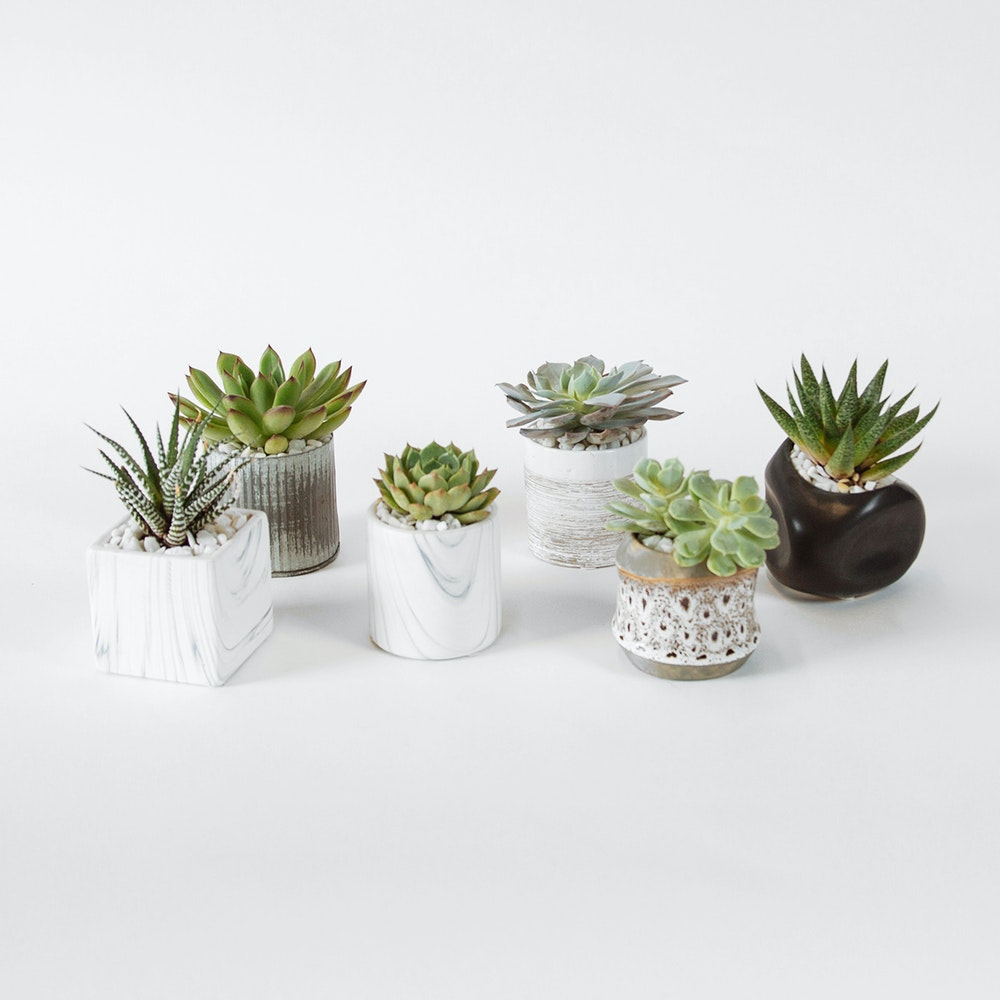 The Succulents